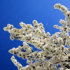 Blue Skies & Blossom