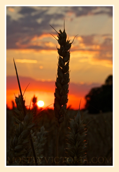 Rackheath Norfolk England Corn Sunset © MostlyVictoria