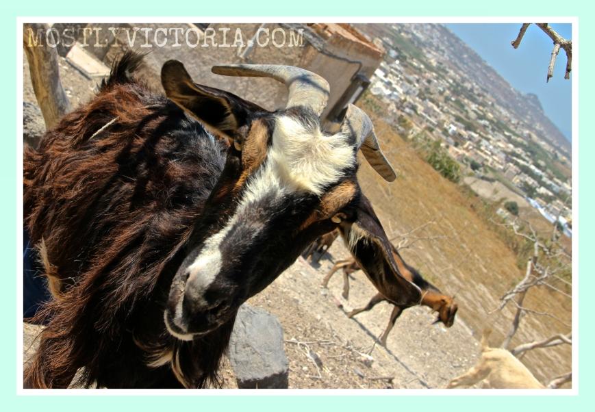 Goat Exo-Gonia Santorini Cyclades Greece MostlyVictoria ©
