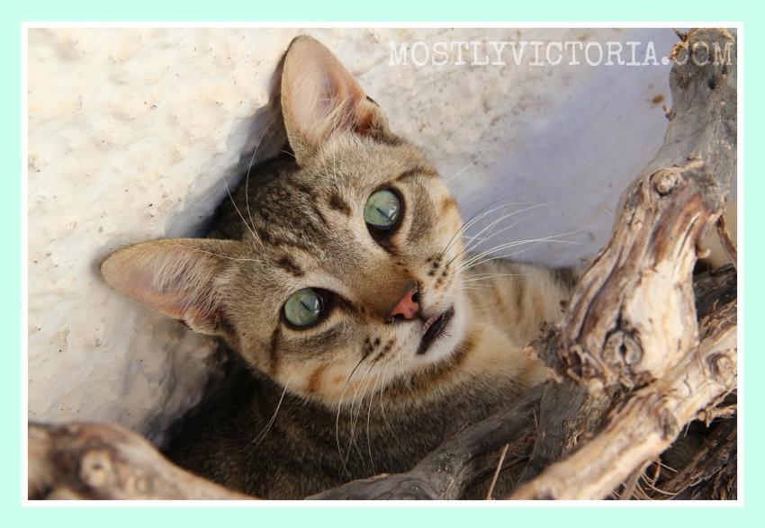 Cat Pyrgos Santorini Cyclades Greece MostlyVictoria ©